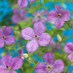 Klematis 'SoMany Lavender Flowers' PBR 1-pack