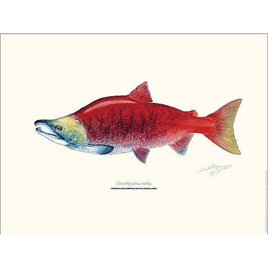 Sakke Yrjölä Indianlax Sockeye Salmon 30x40cm poster