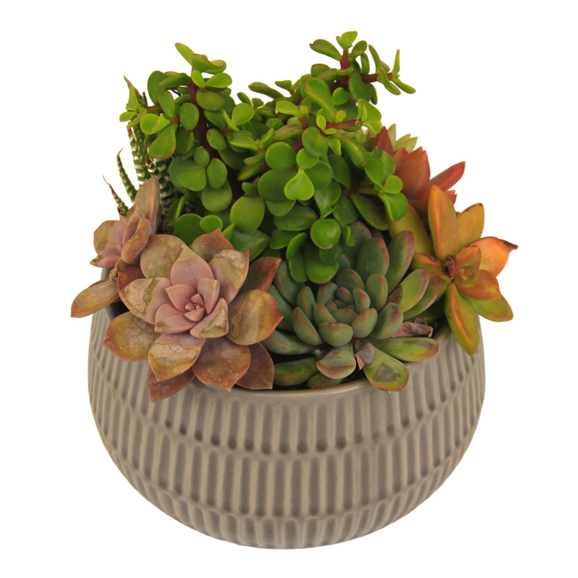 Live Succulent Plant Arrangement in Ribbed Ceramic Pot by World Market