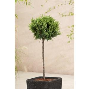 Ädelcypress 'White Spot' Sh 50 cm co
