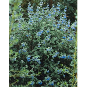 Skäggbuske 'Heavenly Blue' CO 5-pack
