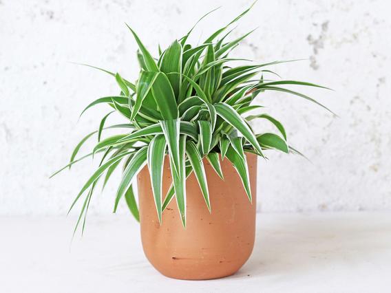 Curved Terracotta Plant Pot – Medium Medium