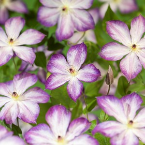 Klematis 'Pernille' 3-pack
