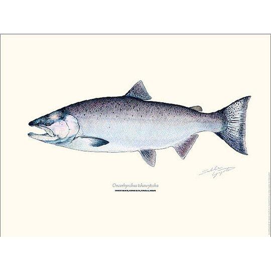 Sakke Yrjölä Kungslax Chinook Salmon 30x40cm poster