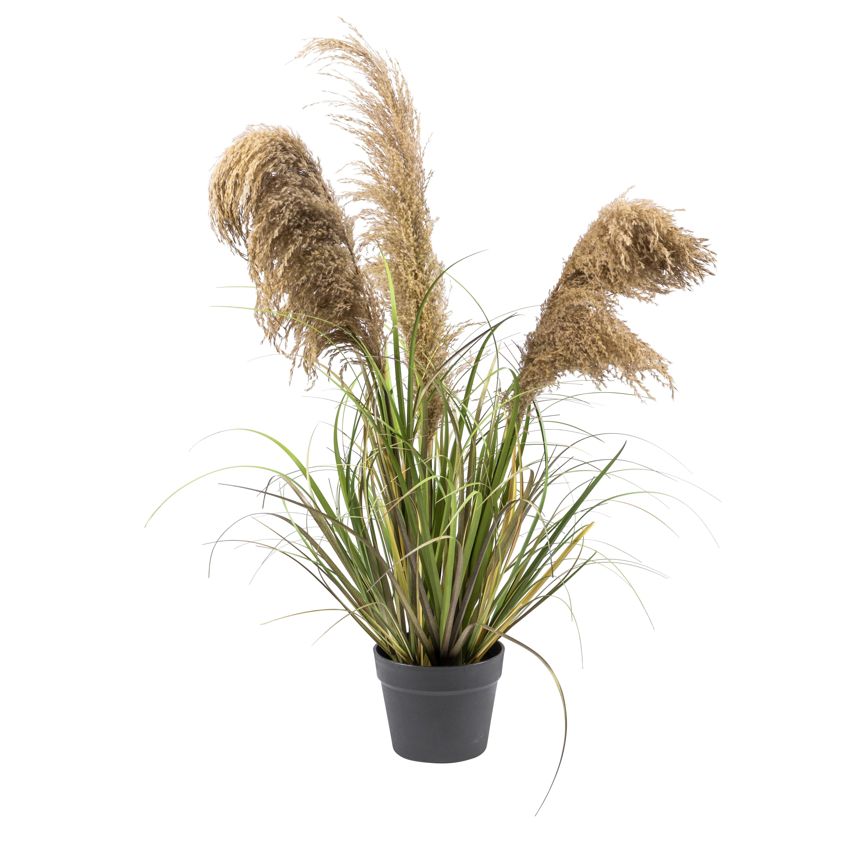 Plante naturlig pampas i potte
