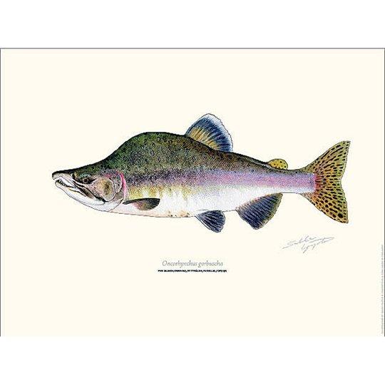 Sakke Yrjölä Puckellax Pink Salmon 30x40cm poster