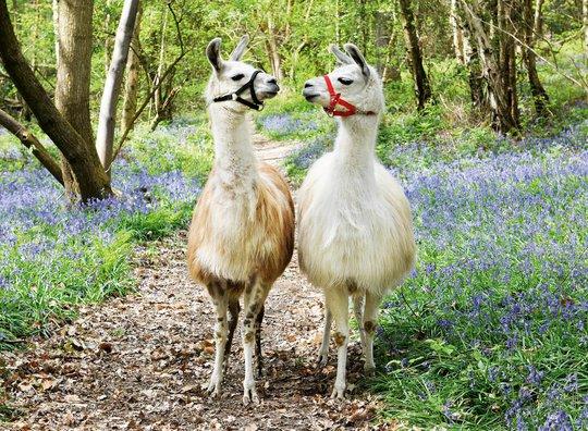 Ravensburger Puslespill Llama Love 100 Brikker