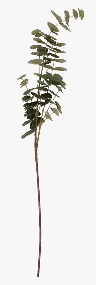 Eucalyptus oksa vihreä