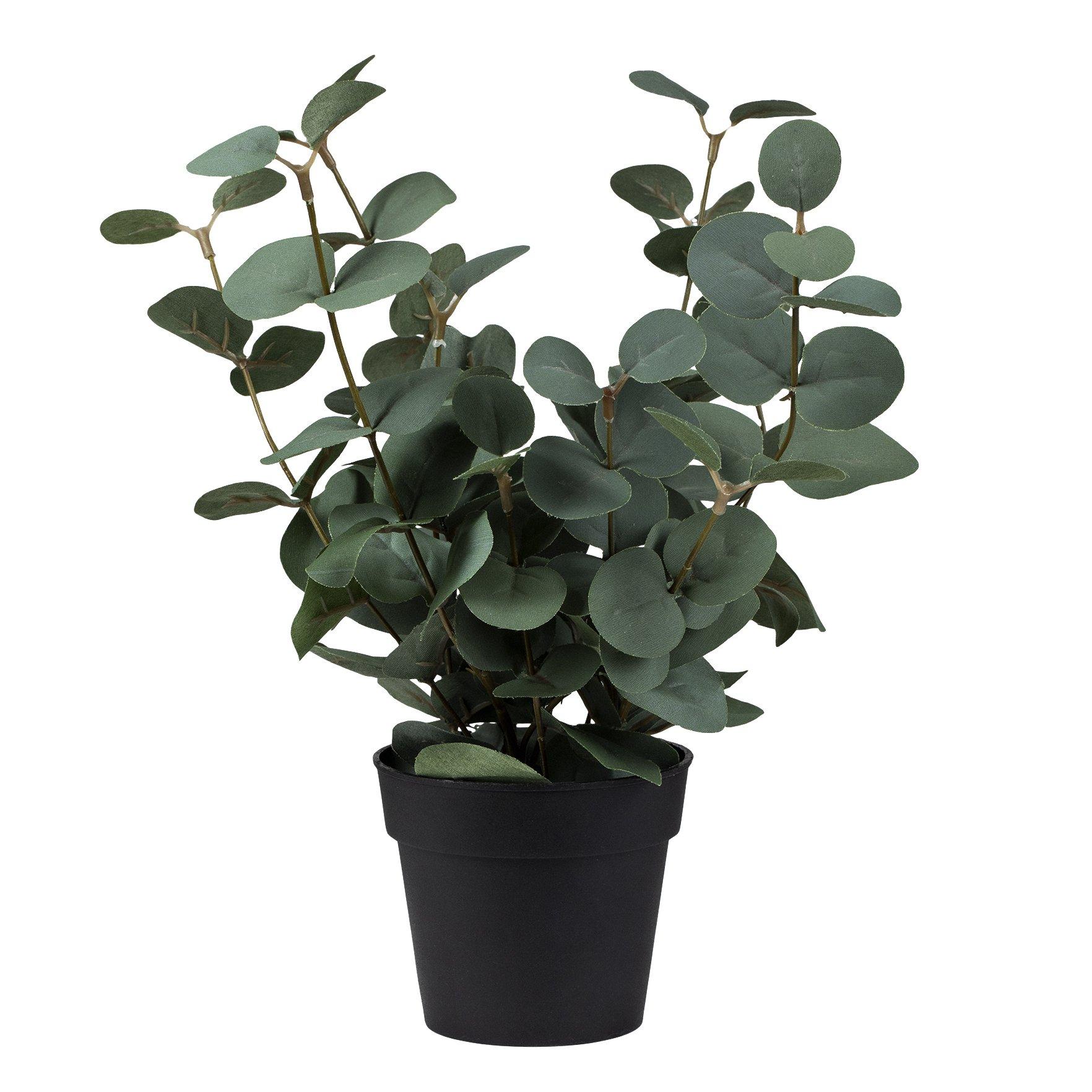 Plante Eucalyptus i potte