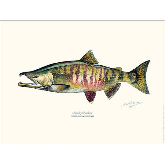 Sakke Yrjölä Hundlax Chum Salmon 30x40cm poster
