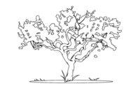 Раскраска Карликовое дерево