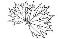 Раскраска Листья клена