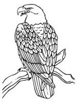 Раскраска Орел на ветке