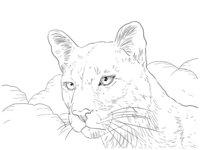 Раскраска Портрет пумы