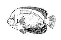 Раскраска Рыба Морской ангел