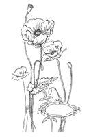 Раскраска Цветы мака
