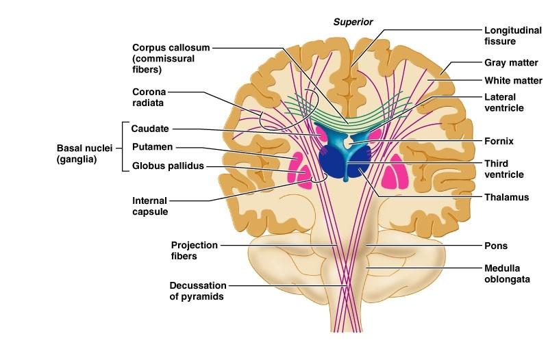 Felç ve serebral palside beyin yapılarında bozukluk olur