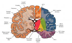 Beyin yapıları ve dolaşımı