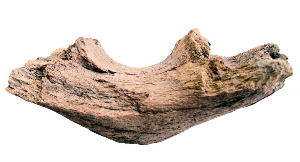 Part of the jaw bone of a woolly mammoth uncovered at Canary Wharf station. Credit: Crossrail.
