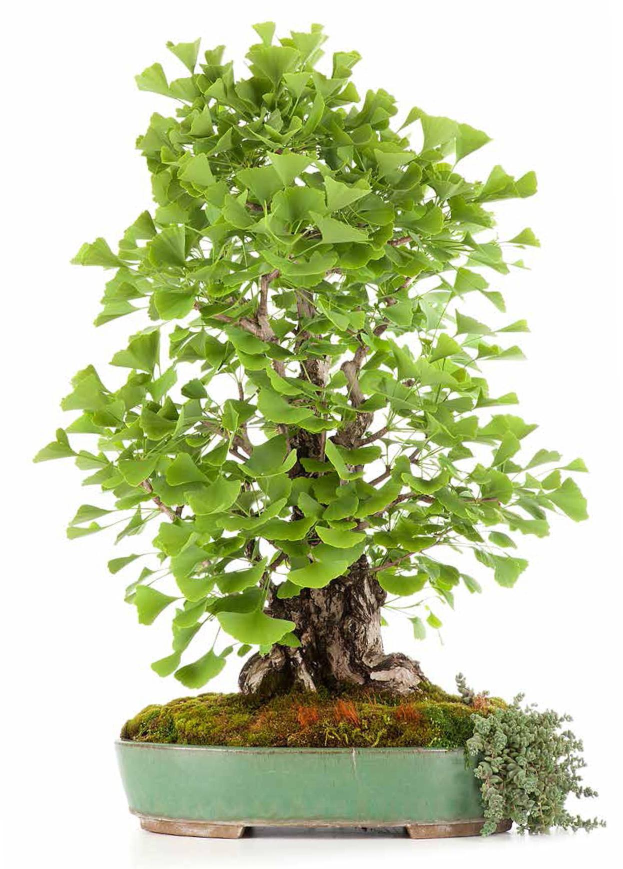 bonsai tra natura e leggenda con crespi bonsai a. Black Bedroom Furniture Sets. Home Design Ideas
