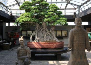 ficus Crespi Bonsai museum