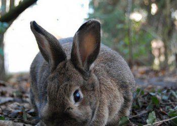 malattia dei conigli
